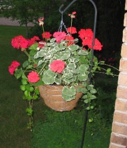 flowersdgeraniumssmallwebview